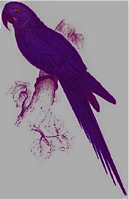 hyacinthine_3